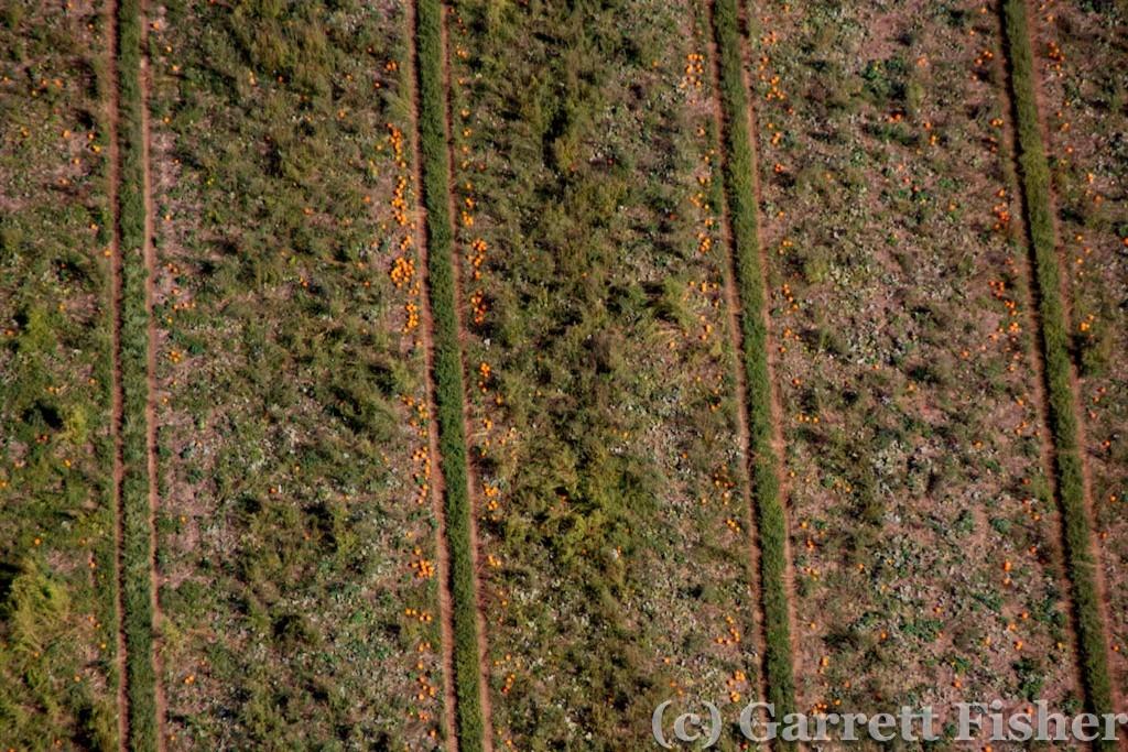 5-Pumpkin Field
