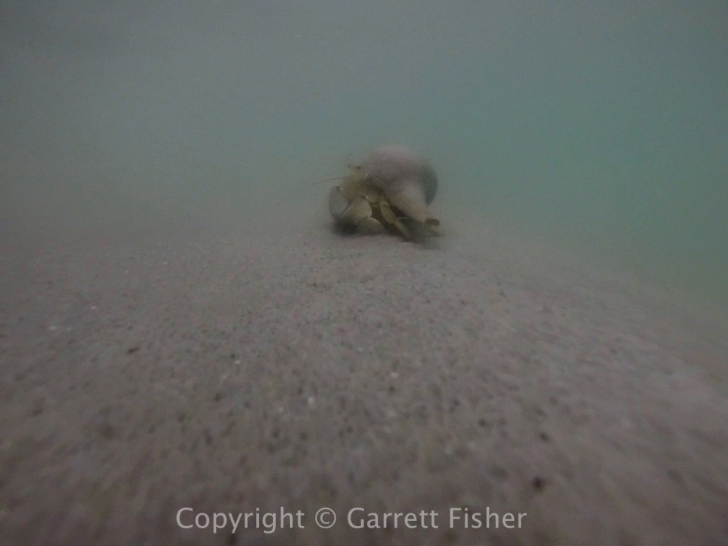 5-Hermit Crab (Underwater)